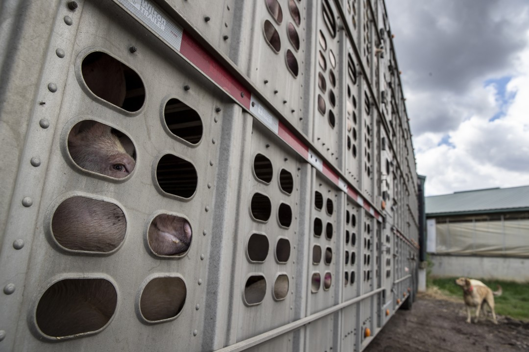 Pigs from the Anderson family farm are still loaded these days for meatpacking plants