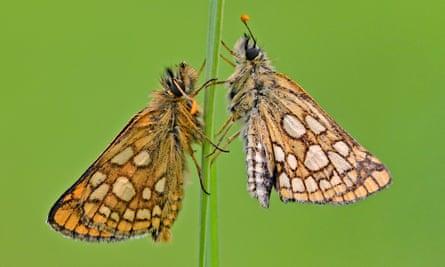 Chequered skipper butterflies.