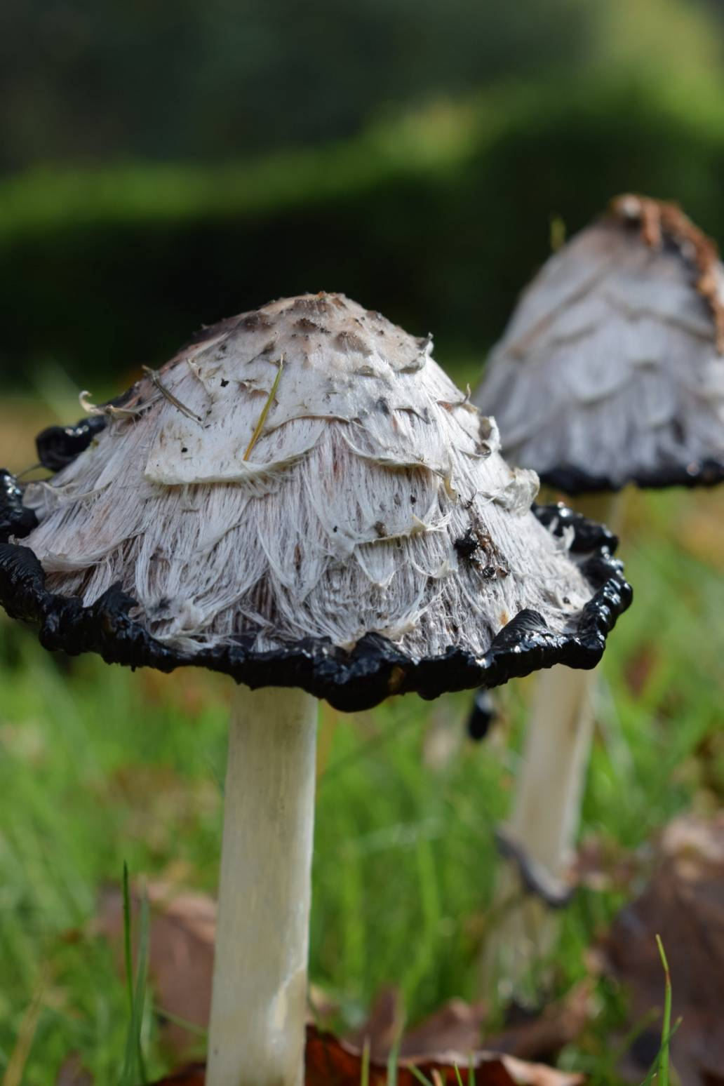 psilocybin supply chain unprecedented demand clinical research