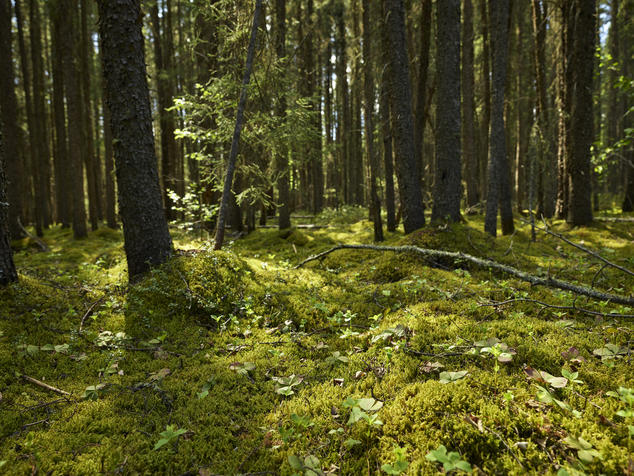 An image of lush boreal forest in Canada