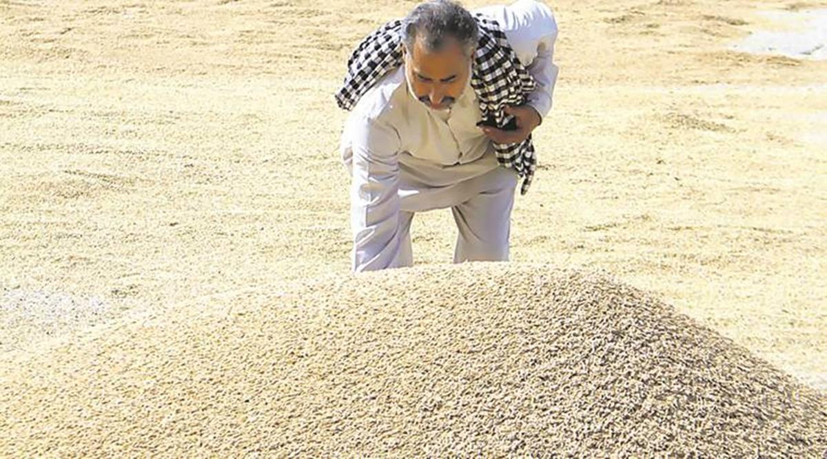 Punjab paddy yield, area under paddy crop, Punjab paddy procurement, Chandigarh news, Punjab news, Indian express news