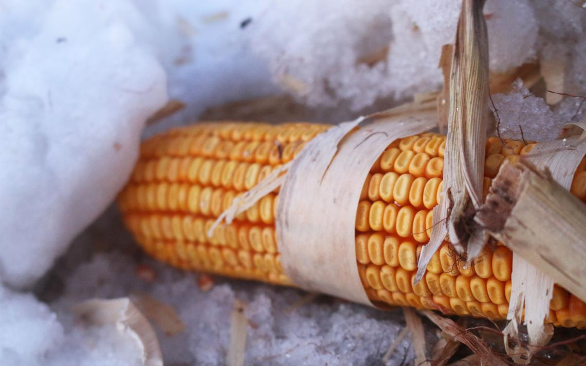 A corn cob lies in a headland snowbank in a field being harvested on March 3, by Larry Richard, Horace, N.D. The farmer figures this kind of loss is less than 1%. Mikkel Pates / Agweek