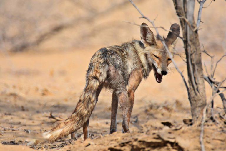 Mange-infected desert fox in Rajasthan. Photo by Radheshyam Pemani Bishnoi.