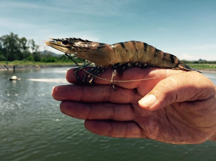 Seafarms already produces black tiger prawns at a site in Queensland